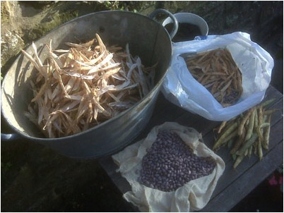 Kenyan native bean Purple Harage