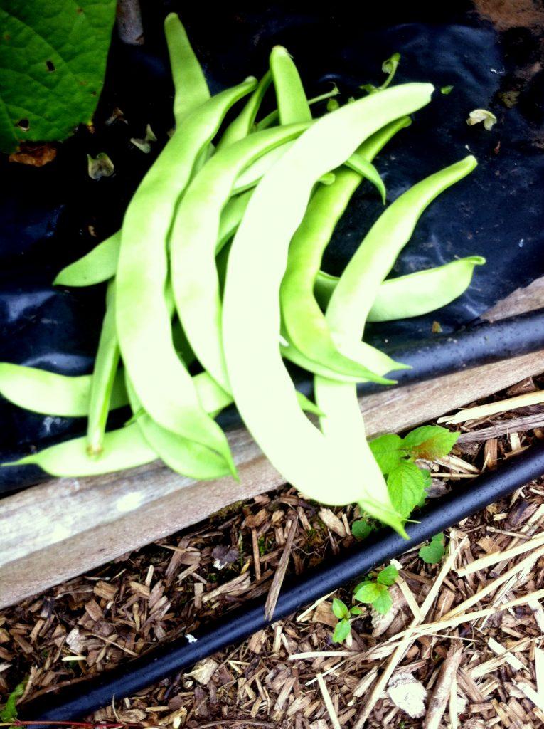 madeira-maroon-harvets