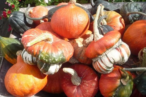 squash harvest 2