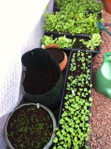 spinach seedlings in foreground, radish and salad crops background