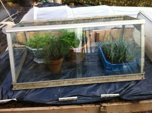 Parsley, thyme and garlic keeping warm and growing on