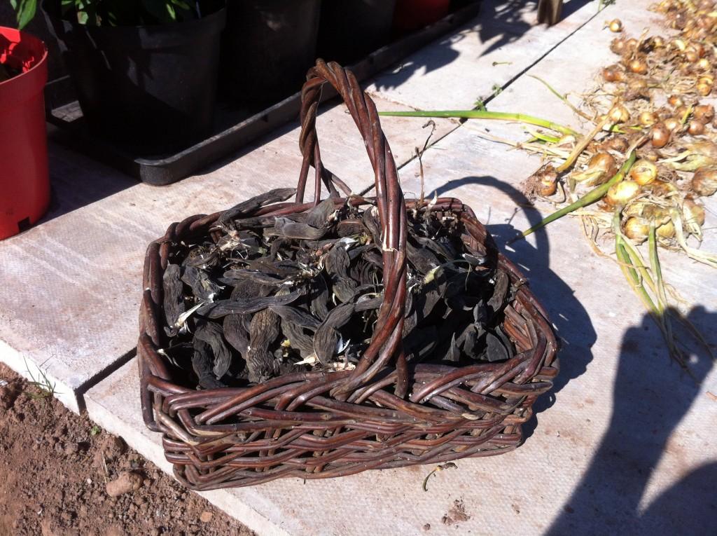 Syrian fava in basket wide